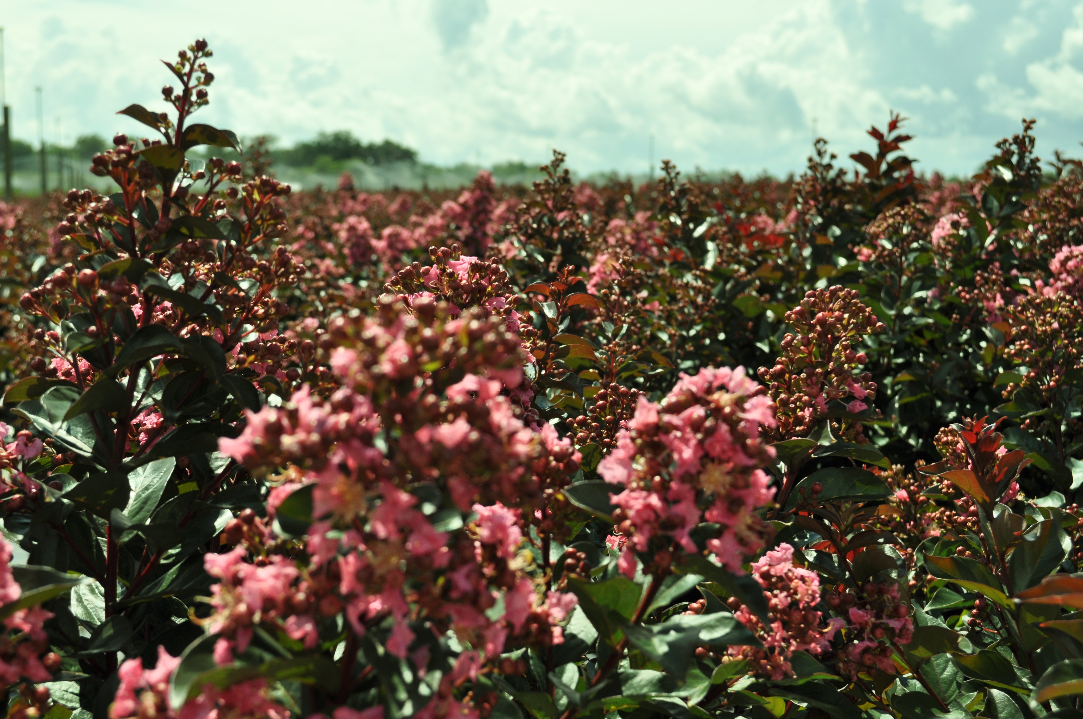 Choosing the right crape myrtle for you plant me green perhaps you love crape myrtles as much as i do and perhaps like me you spend a lot of time admiring these trees in other peoples yards and occasionally nvjuhfo Choice Image