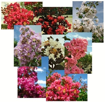 Colorful Crepe Myrtles Like any other plant purchasing decision, the first thing to do in choosing a crape myrtle is to consider your USDA Zone. If you are not sure which zone you ...