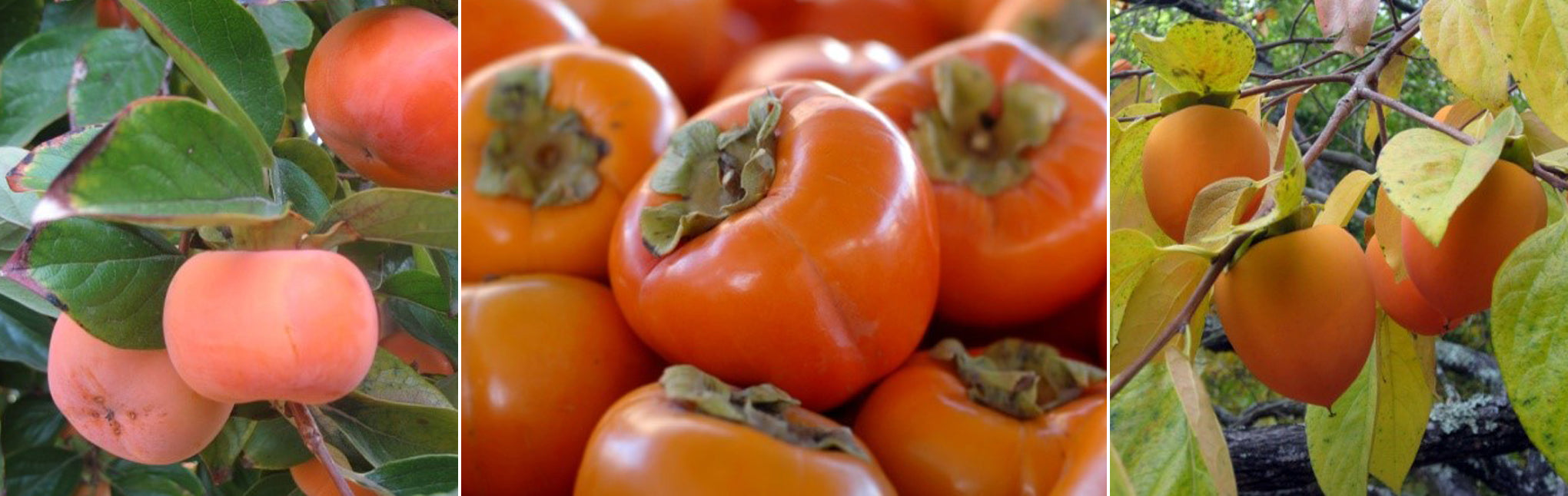 8 important stages of growing persimmon from the stone 53