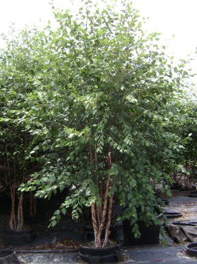 Birch Dura Heat River Ornamental Tree