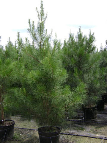 Pine Loblolly Evergreen Trees