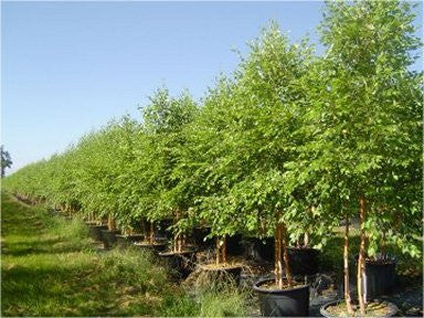 Deciduous fast growing Birch Tree - Heritage