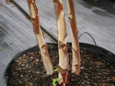 Heritage River Birch Trees - Deciduous and Fast Growing