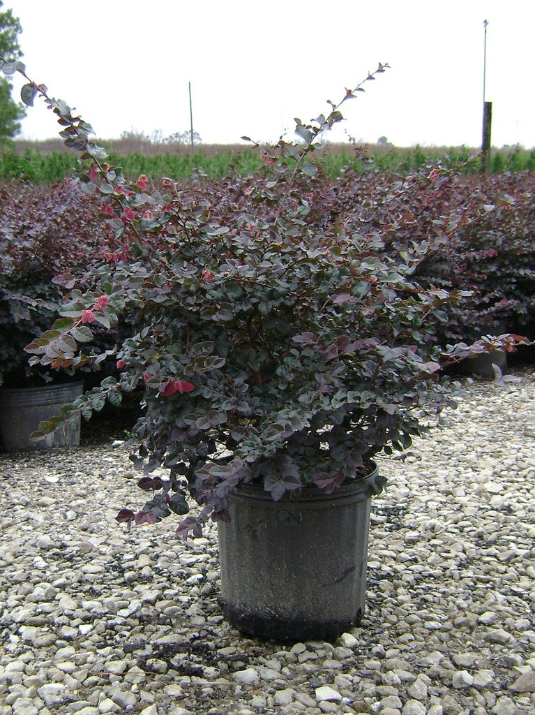 Plum Loropetalum Evergreen Shrubs