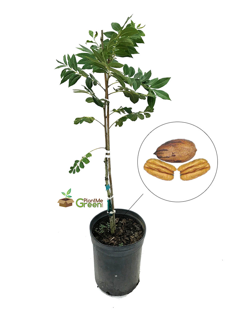 Pecan Trees (Potted) - Cherryle (Type 2)