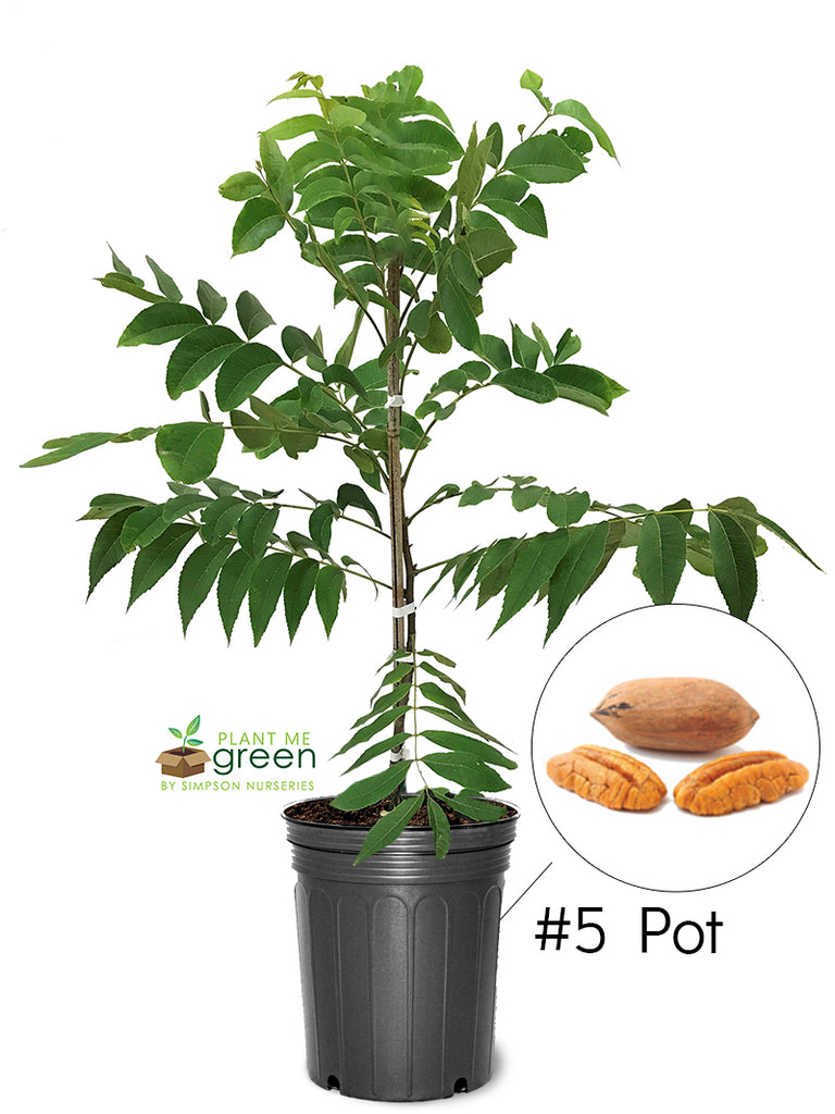 Pecan Trees (Potted) - Ellis (Type 2)