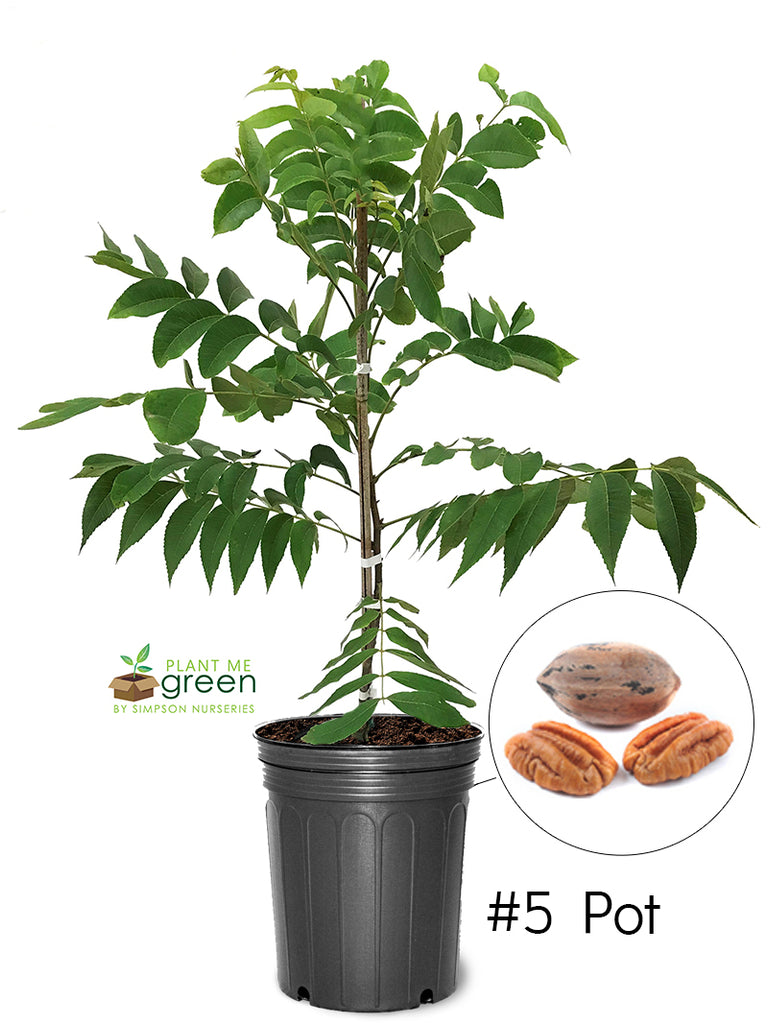Pecan Trees (Potted) - Stuart (Type 2)