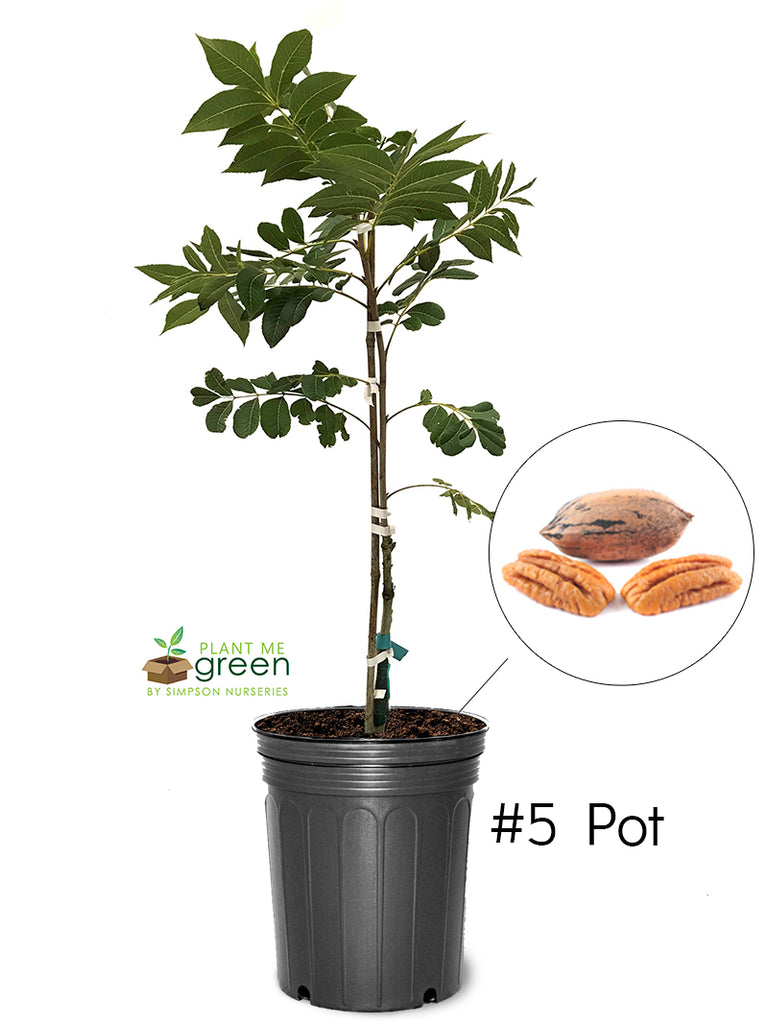Pecan Trees (Potted) - Sumner (Type 2)