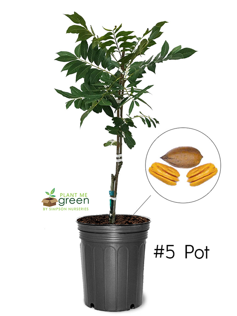 Pecan Trees (Potted) - Amling (Type 1)