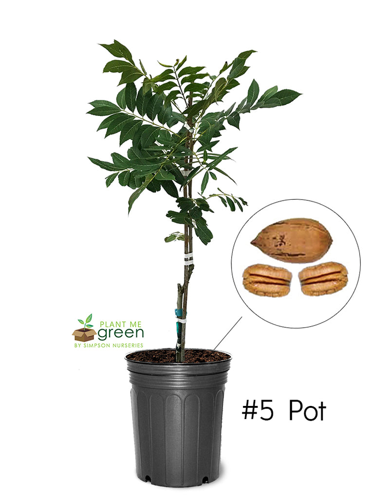 Pecan Trees (Potted) - Zinner (Type 2)
