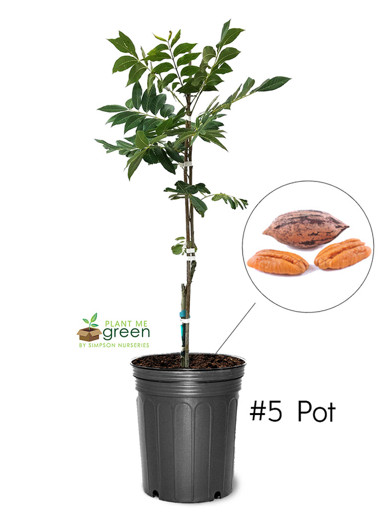 Pecan Trees (Potted) - Caddo (Type 1)