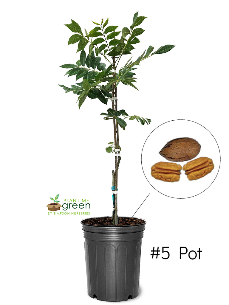 Pecan Trees (Potted) - Gloria Grande (Type 2)