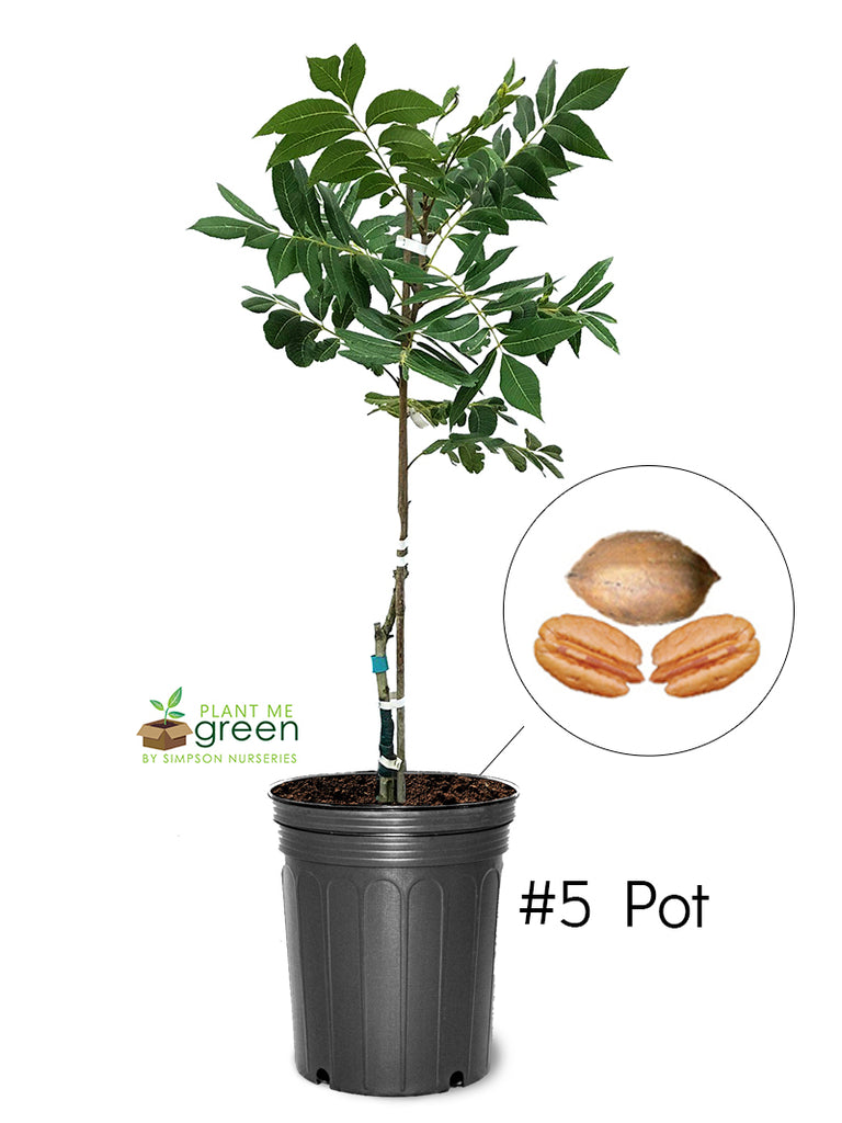 Pecan Trees (Potted) - Kanza (Type 2)