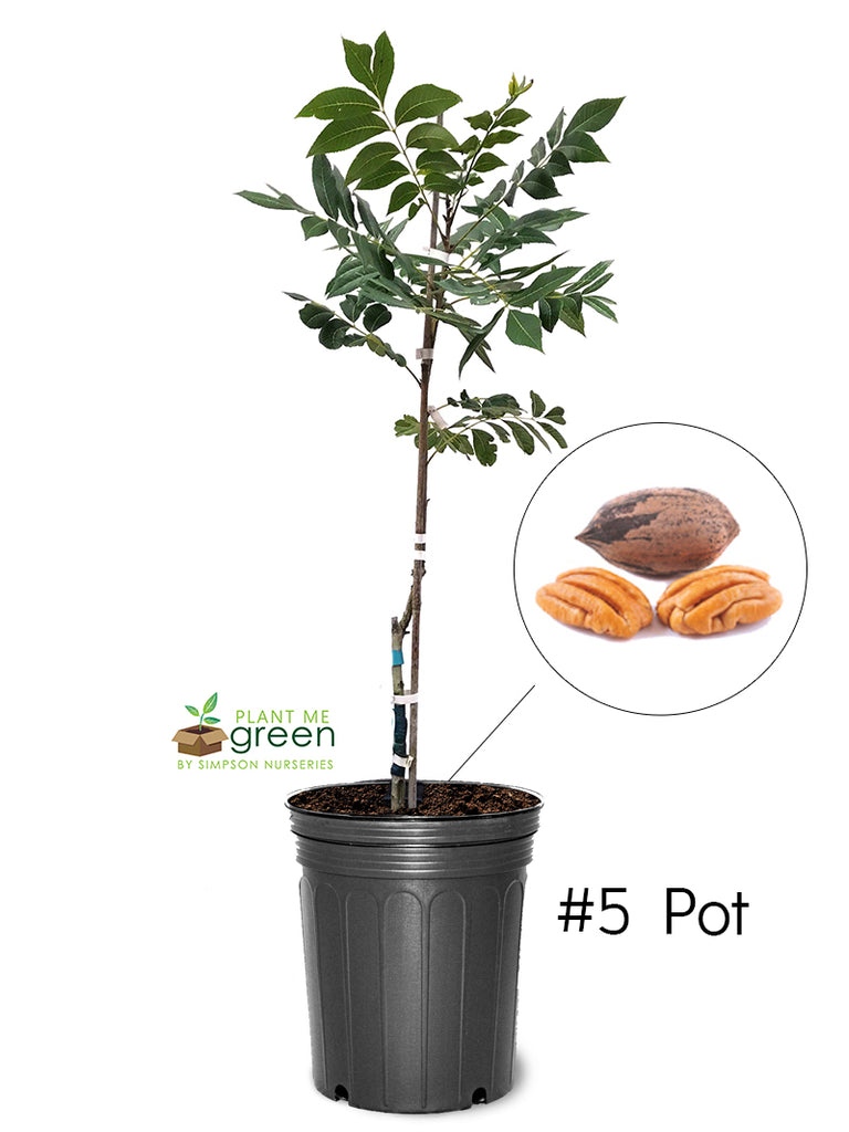 Pecan Trees (Potted) - Cape Fear (Type 1)