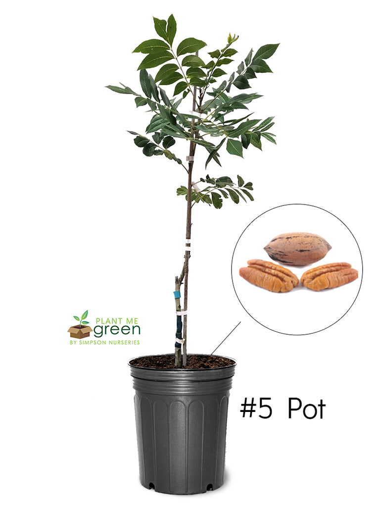 Pecan Trees (Potted) - Kiowa (Type 2)