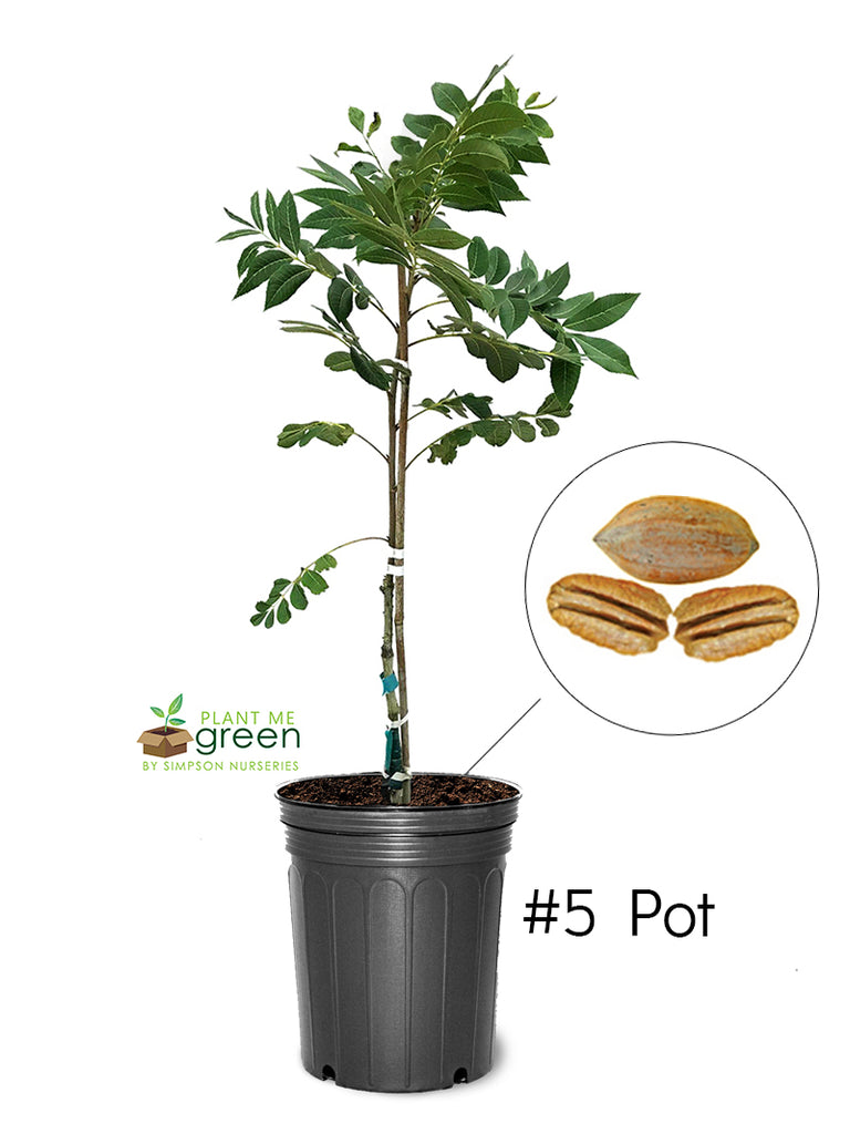 Pecan Trees (Potted) - Lakota (Type 2)