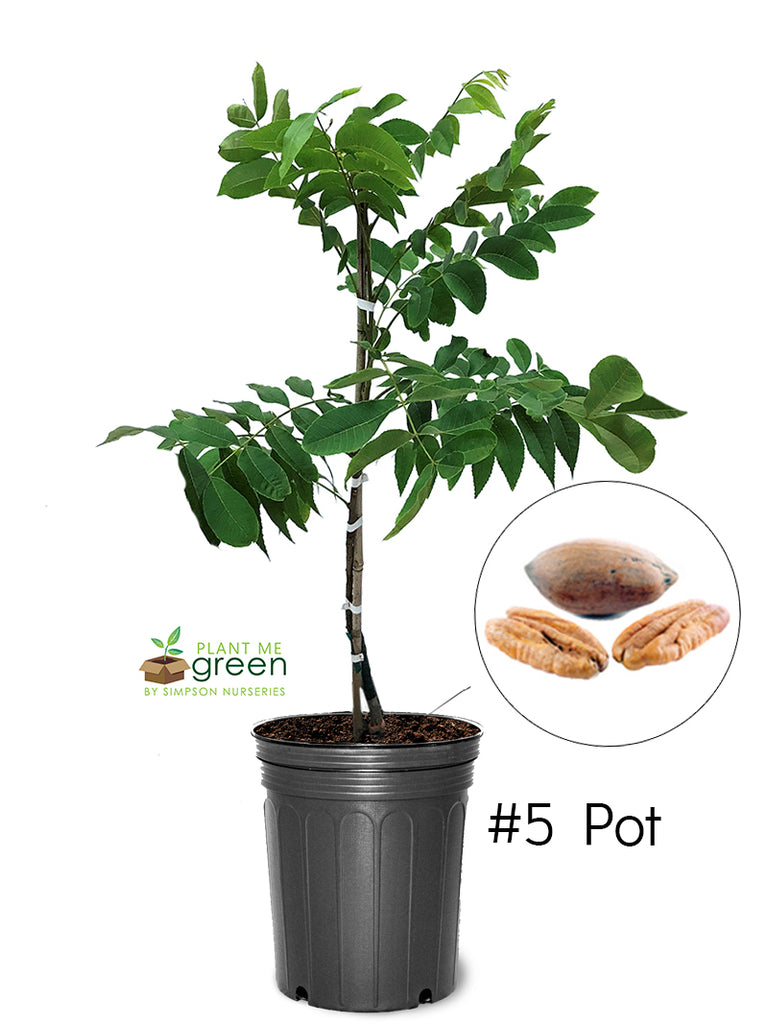 Pecan Trees (Potted) - Creek (Type 1)
