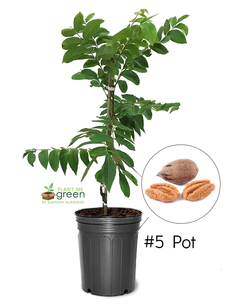 Pecan Trees (Potted) - Desirable (Type 1)
