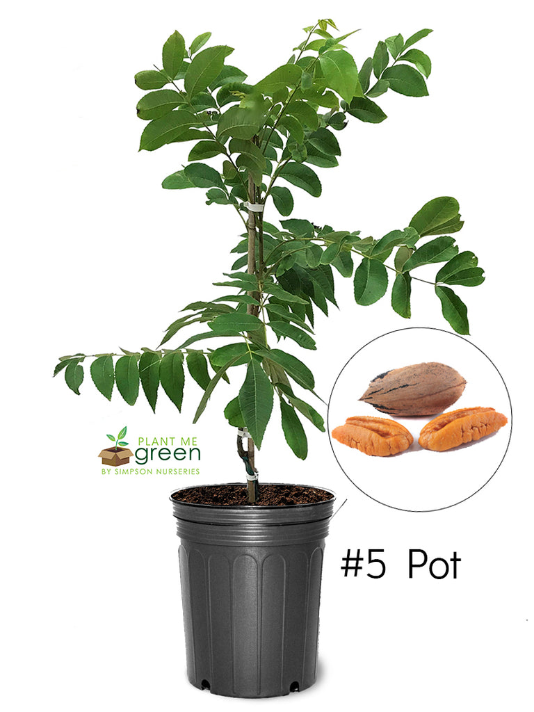 Pecan Trees (Potted) - Oconee (Type 1)