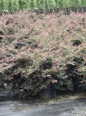 Evergreen Shrub | Pizzazz Loropetalum | Low Spreading