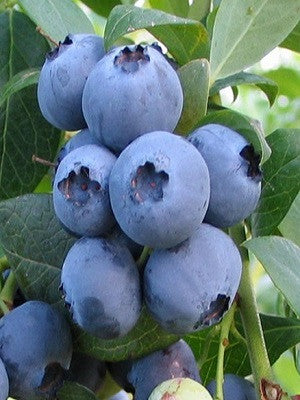 Blueberry Alapaha