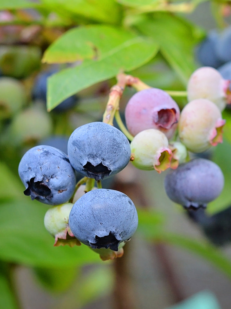 Blueberry - Alapaha (Rabbit Eye)