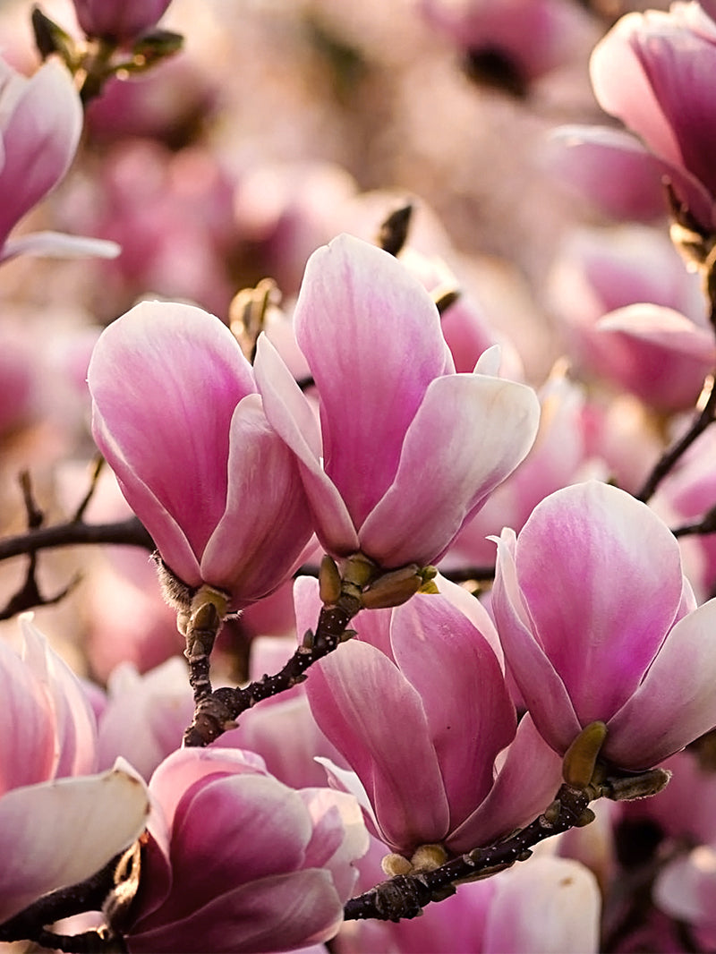 Alexandrina Japanese Magnolia Tree Flowering Trees Plant Me Green