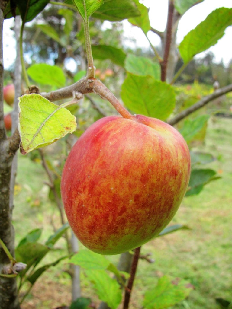 Apple Trees - Anna
