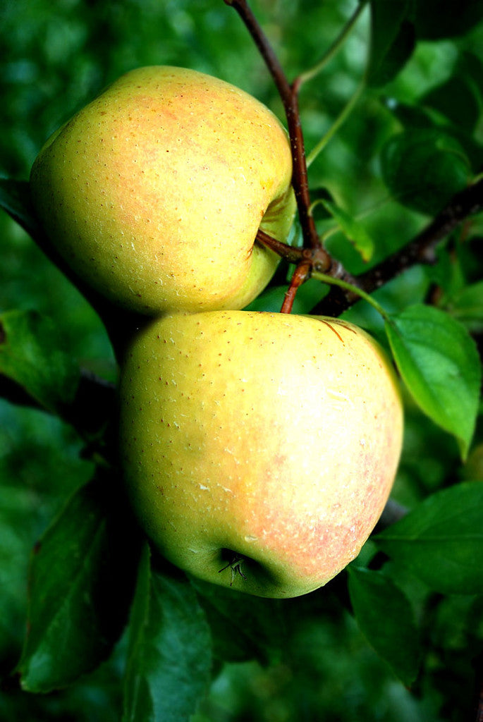 Sweet Dorsett Gold Apple
