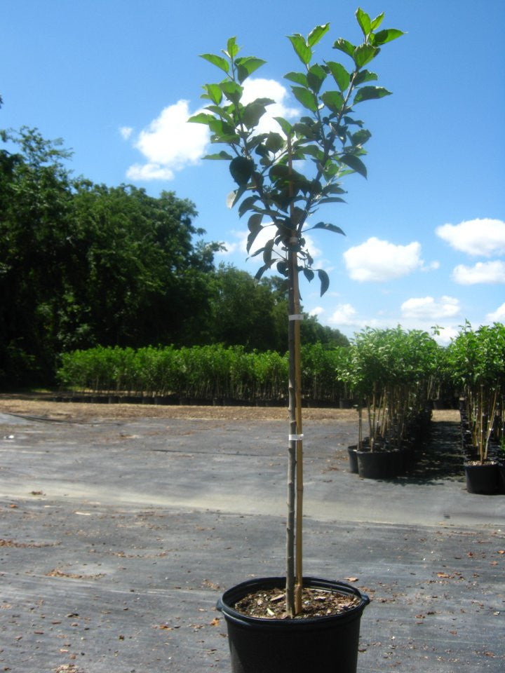 Dorsett Gold Apple Trees