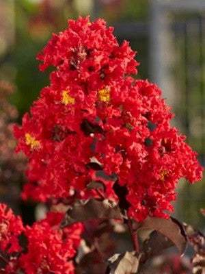 Crape Myrtle Black Diamond Best Red