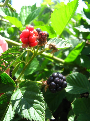 Natchez Blackberry Plant
