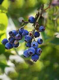 Blueberry - Brightwell (Rabbit Eye)