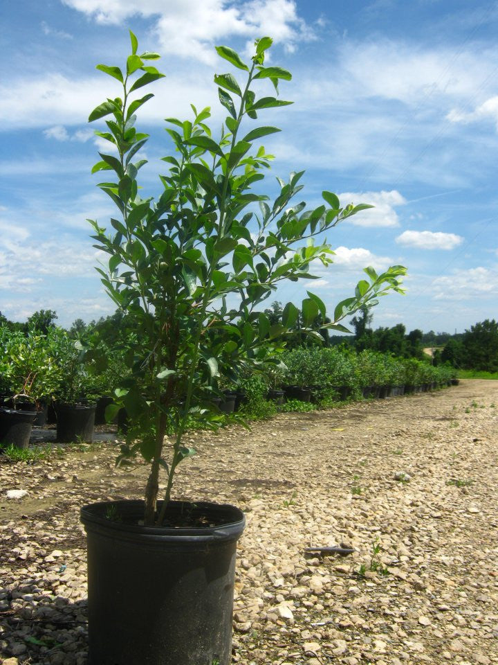 Climax Blueberry Plants