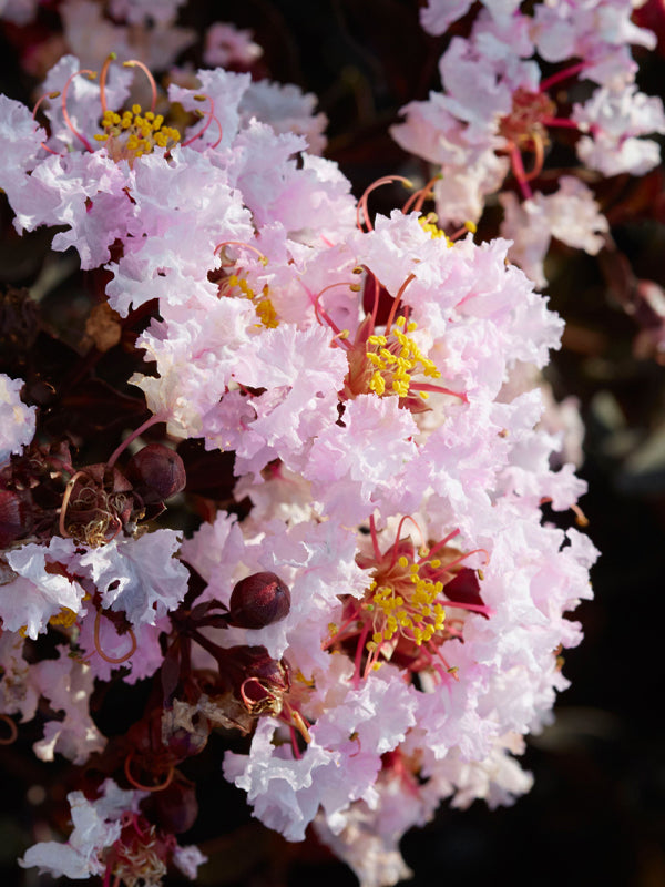 Crape Myrtle - Black Diamond Blush