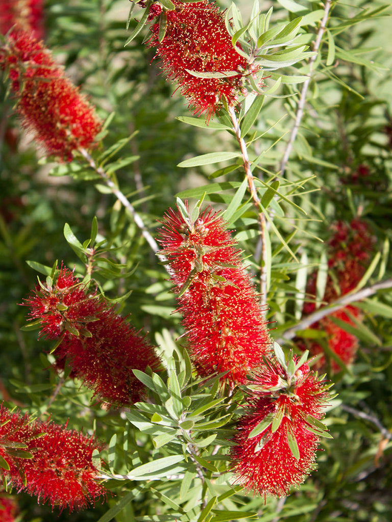 Bottlebrush - Red Cluster