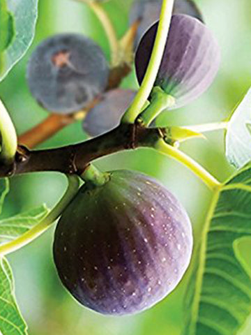 Fig Trees - Brown Turkey
