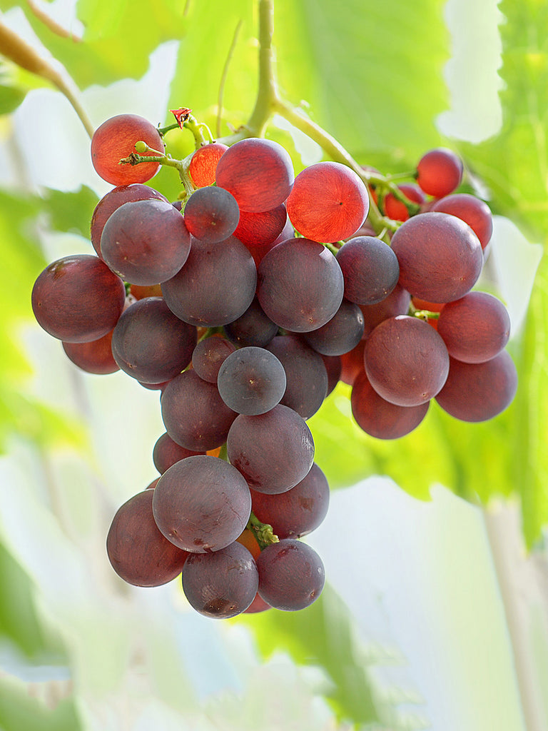 Grape - Canadice Red