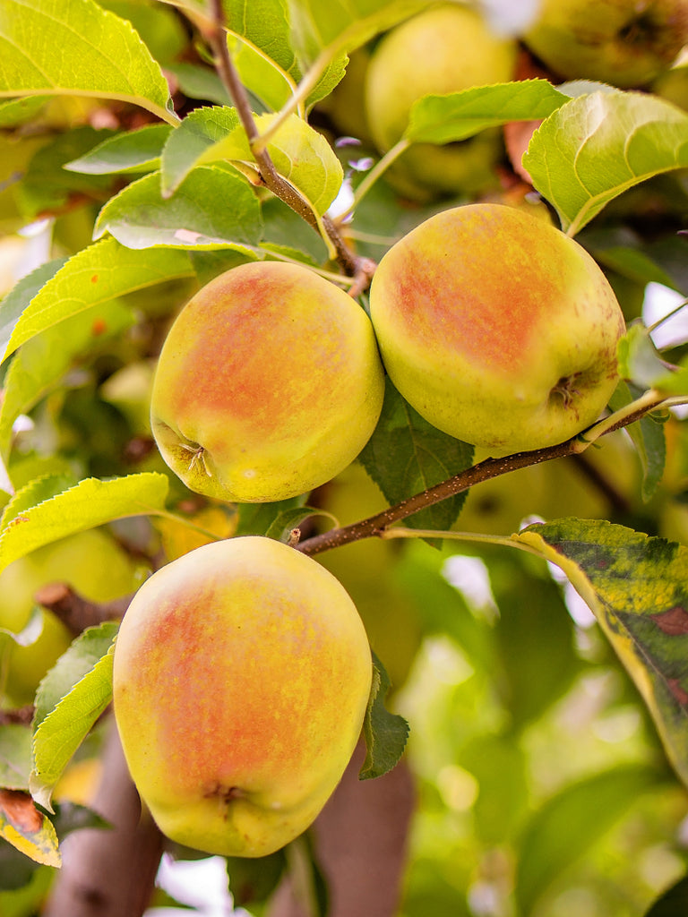 Apple Trees - Candy Crisp®
