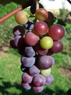 Grape - Catawba