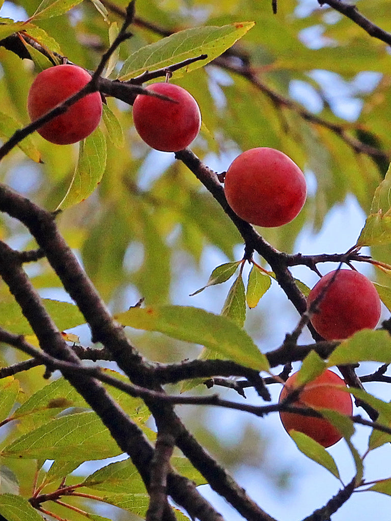 Plum Trees - Chickasaw