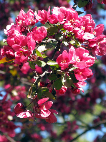Crabapple Summer Wonder