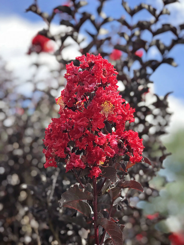 Crape Myrtle - Black Diamond Crimson Red
