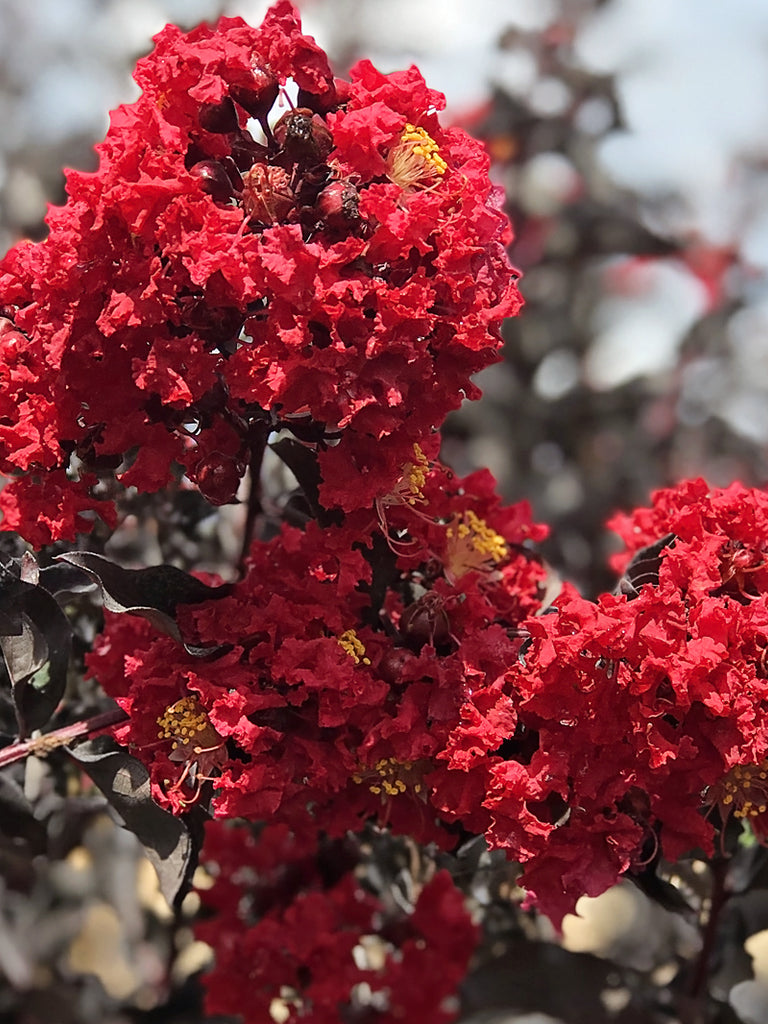 Crape Myrtle Flowering Trees Black Diamond Plant Me Green