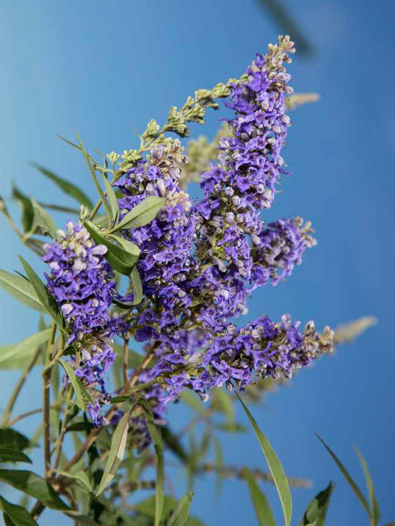 Vitex - First Editions® Delta Blues™