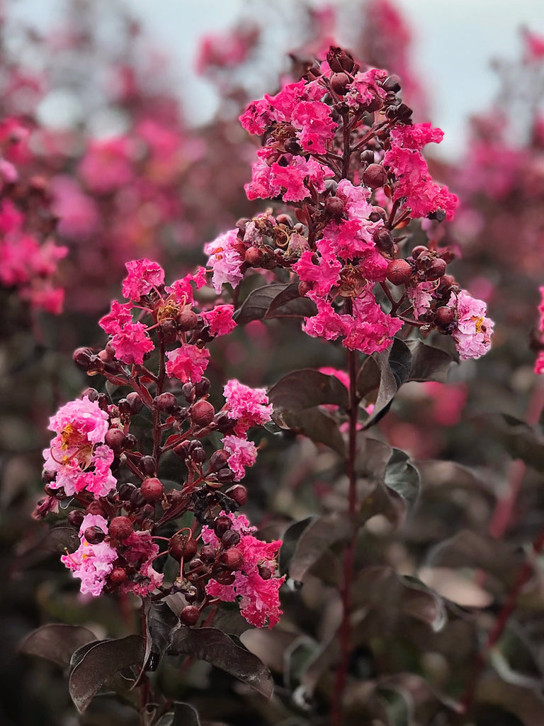 Crape Myrtle - Southern Living™ Delta Fusion™