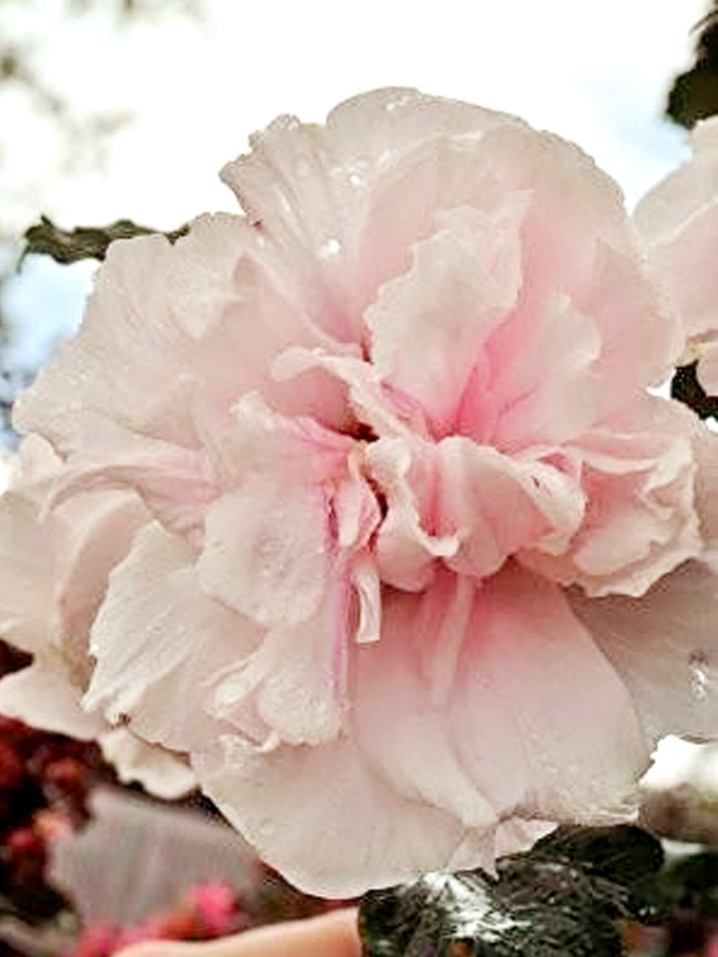Althea Double Pink Rose Of Sharon Deciduous Shrub Plant Me Green