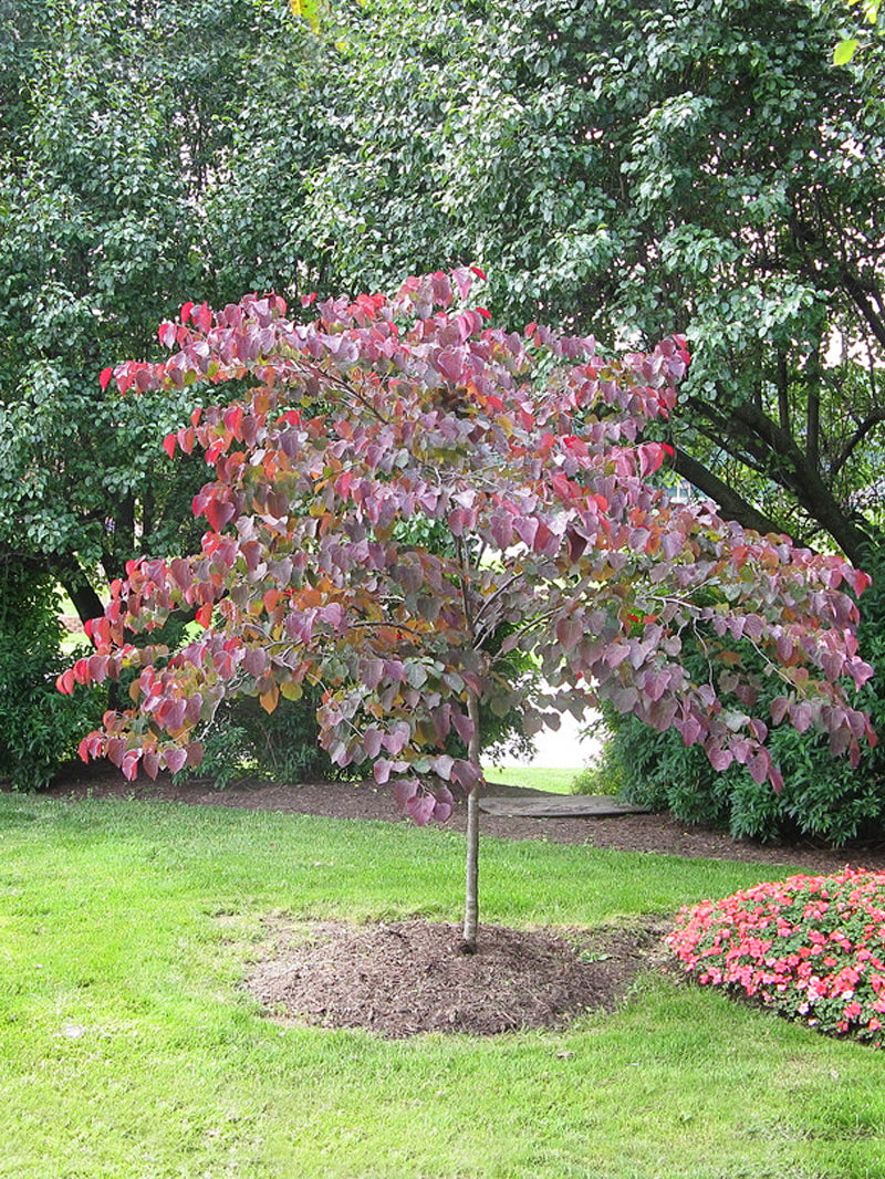 Redbud Forest Pansy Plant Me Green