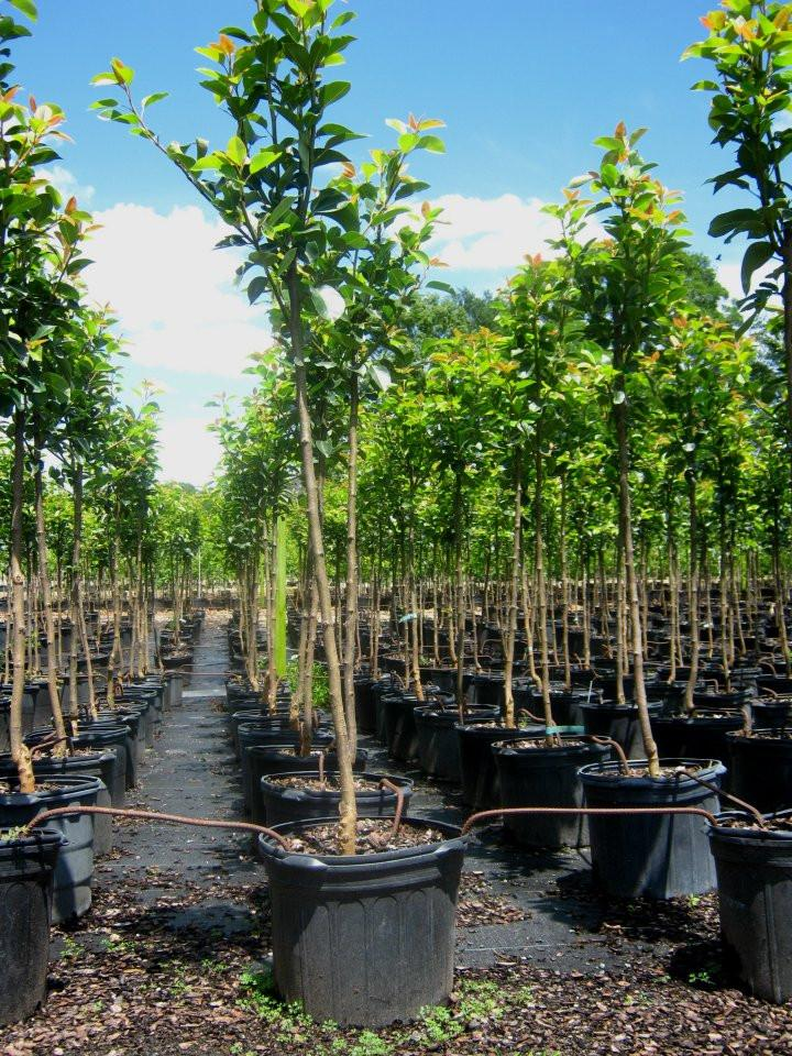 Hood Pear Trees | Fruit Trees