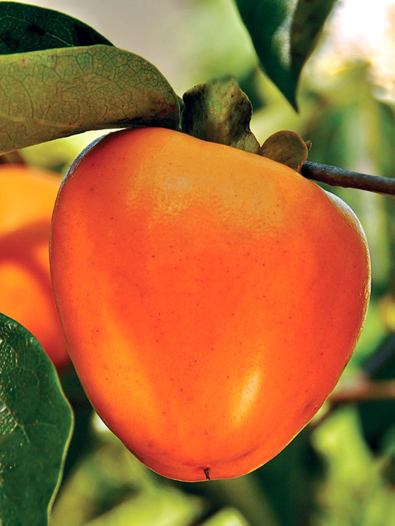 Persimmon Trees - Giombo (Astringent)